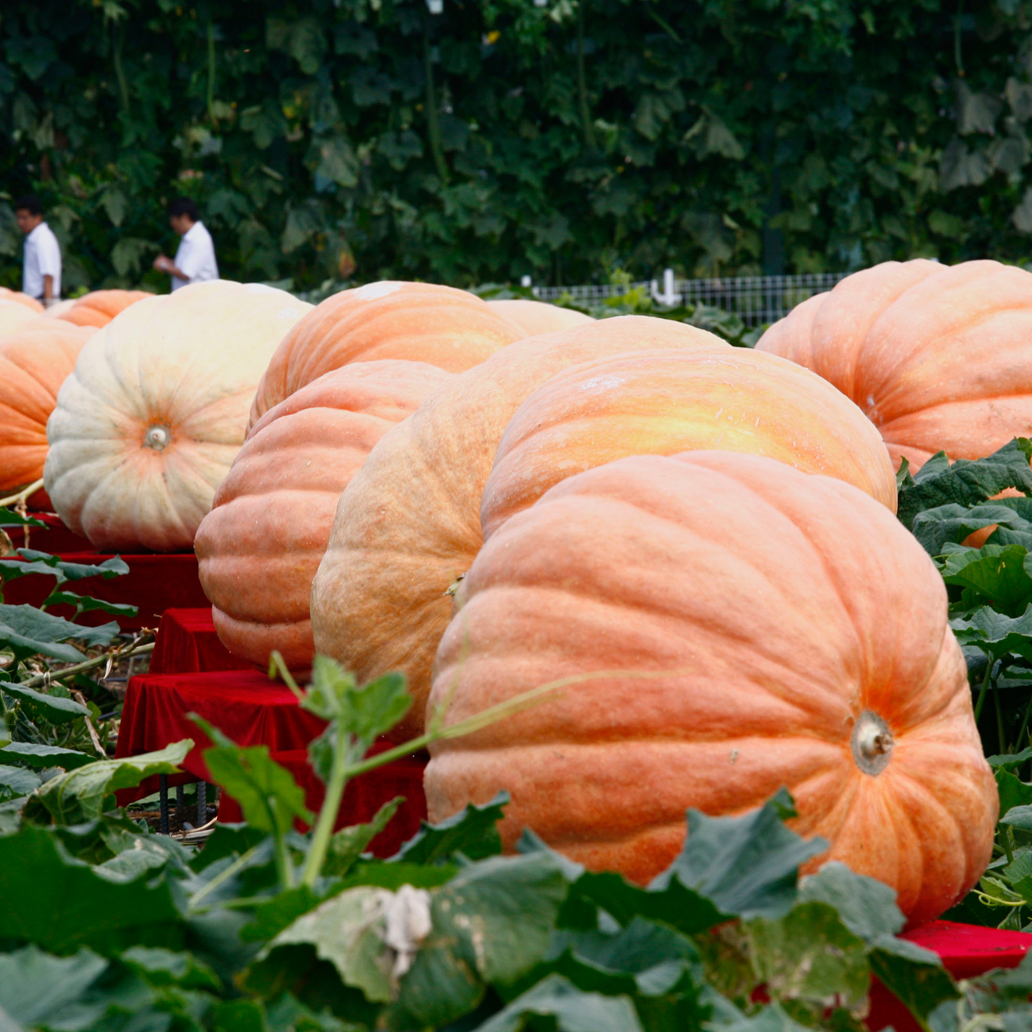 Here's How You Grow the World's Biggest Pumpkins