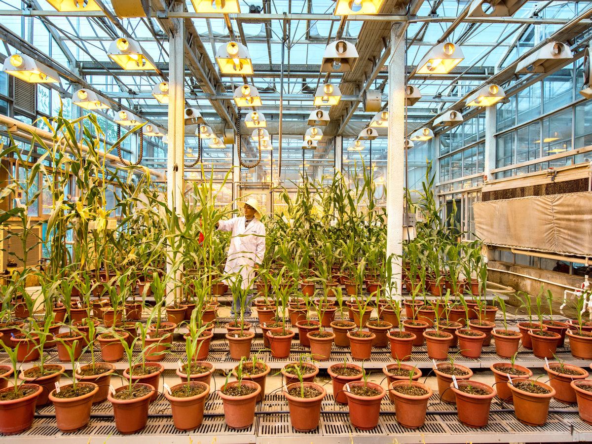 Corn being grown in a greenhouse inside Syngenta's biotech research center in Beijing, the first such foreign-funded facility in China.