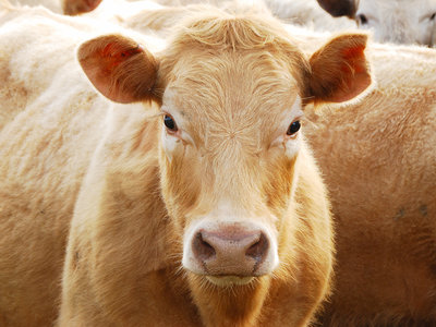 heat resistant cows brangus cows a cross breed