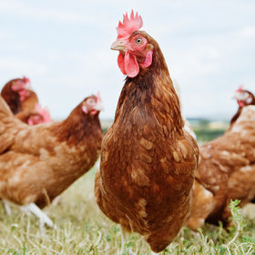 Food & Wine: Welcome to the Anthropocene, Epoch of Humans (and Chickens)