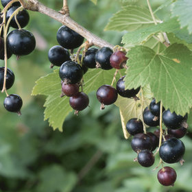 Food & Wine: Blackcurrants Are So Hot Right Now