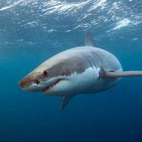 Food & Wine: Everything You Need to Know About Eating Shark in the U.S.