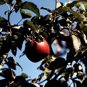 Food & Wine: It's One of the Best Apples You'll Ever Taste—So Why Is Almost Nobody Growing It?