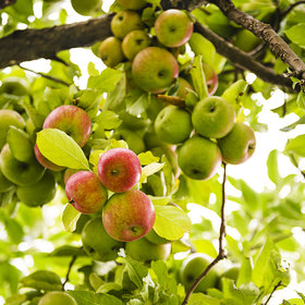 Food & Wine: The Right Time to Pick Your Favorite Apple Varieties