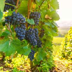 mkgalleryamp; Wine: New Rot-Resistant 'Supergrapes' Could Reduce Pesticide Use, But Traditionalists Caution a 'Race to the Bottom'