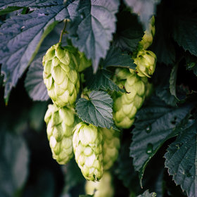 mkgalleryamp; Wine: New Zealand Invests $8 Million to Develop 'Unique Kiwi Hops' for Beer