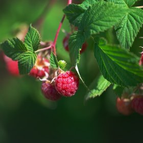 Food & Wine: 7 Reasons Raspberries Are So Good for You