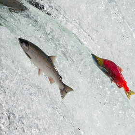 mkgalleryamp; Wine: What Is Salmon Safe Beer?