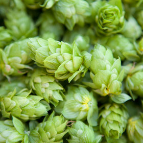 Food & Wine: Fresh Hops Can Be Harvested Year-Round, Paving the Way for More Wet Hop Beers
