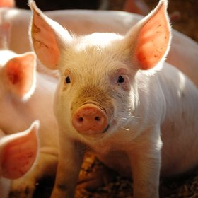 Food & Wine: A $50 Million Lawsuit Has the Whole Pork Industry Scared
