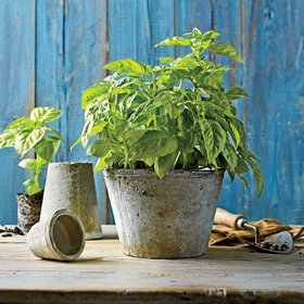 Food & Wine: The 4 Types of Basil You Should Know