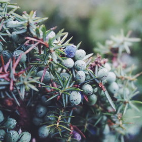 Food & Wine: The Single Estate Gin Distillery Trying to Save Juniper