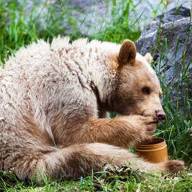 mkgalleryamp; Wine: This Bear Drove to Dairy Queen For Her Birthday, and It Is the Best