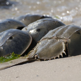 Food & Wine: Why Horseshoe Crabs Are E. Coli's Worst Nightmare