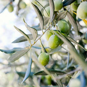 mkgalleryamp; Wine: Some of The Best Olive Oil in America Comes From Georgia