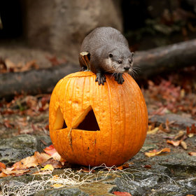 Food & Wine: 15 Animals Playing With Pumpkins For Halloween