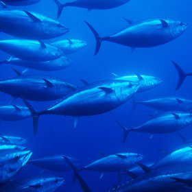 Food & Wine: Pacific Bluefin Tuna Conservation Agreement Aims to Increase Population