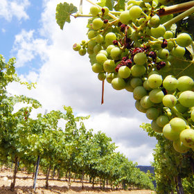 Food & Wine: Ancient Grapes Could Help Wine Survive Climate Change