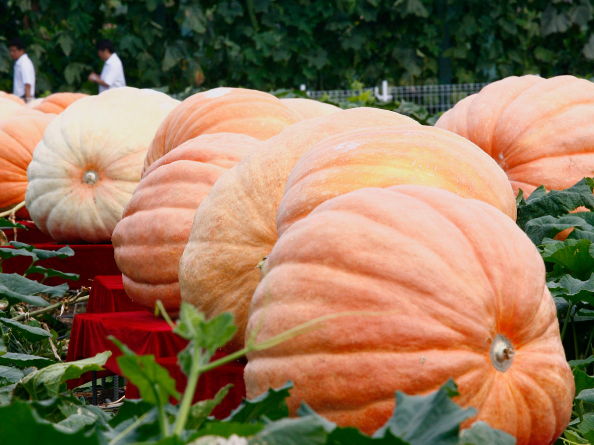 FWX GIANT PUMPKIN COMPETITION_0