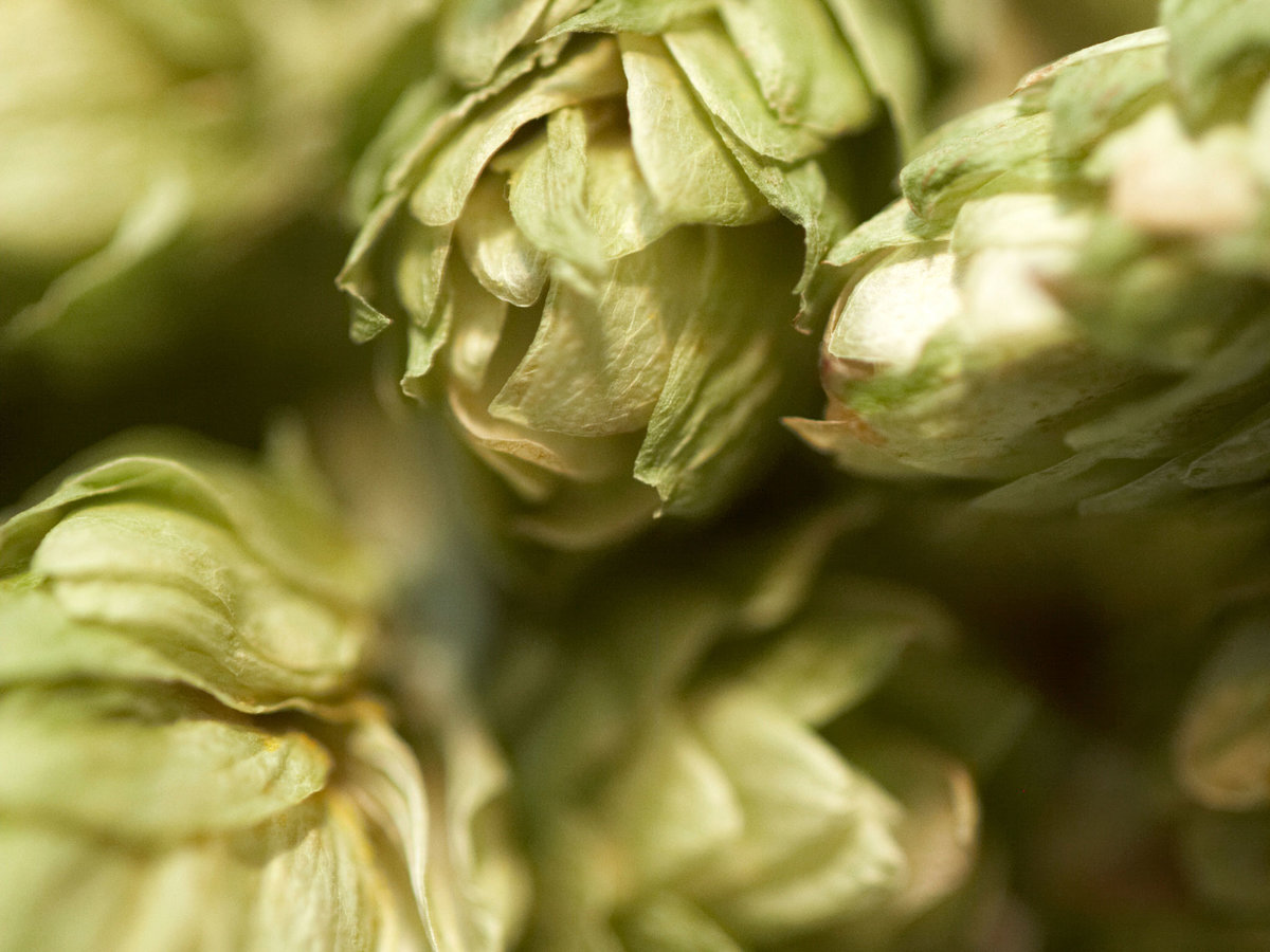 Scientists Think Hops Could Help Fight Cancer