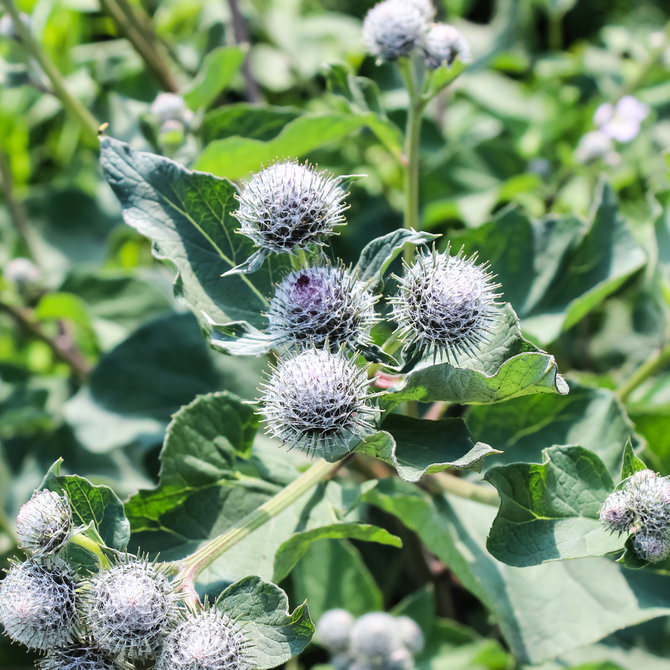 Food & Wine: Burdock  Edible Weeds