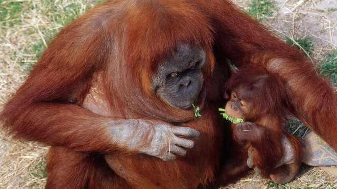 Food & Wine: Orangutans Could Make Competent Mixologists