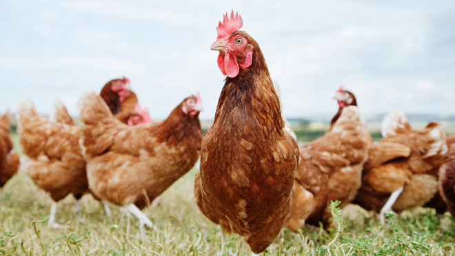 Food & Wine: Domestic Chickens Anthropocene
