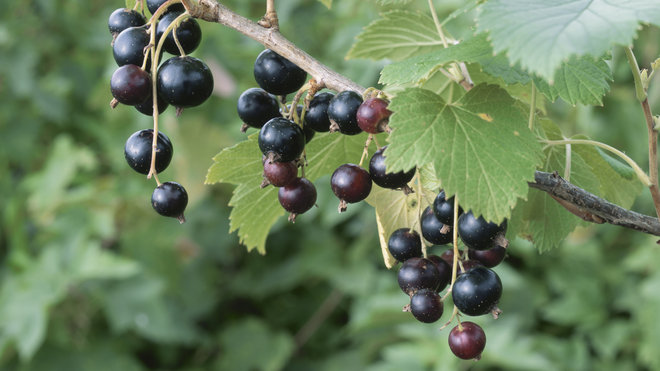 Food & Wine: Blackcurrants available in U.S.