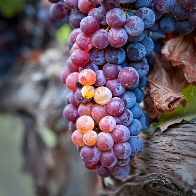 Food & Wine: Grenache Grapes