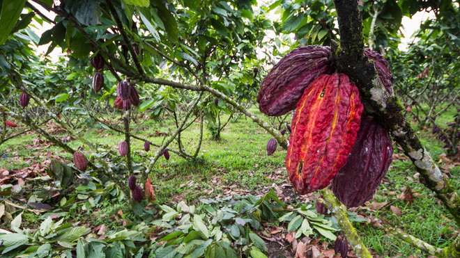 Food & Wine: Sustainable Cocoa