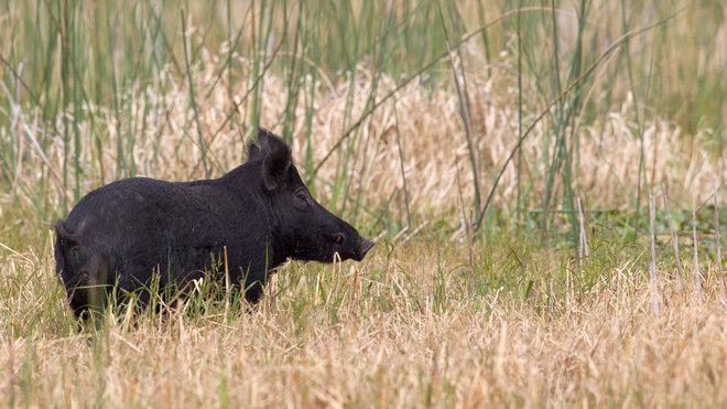 Food & Wine: Wild Pigs in Florida