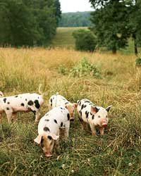 Food & Wine: North Carolina's Cane Creek Farm is home to Ossabaw hogs and these Old Spot pigs.